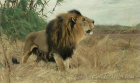Berber Lion