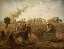 Buckwheat Harvest Summer