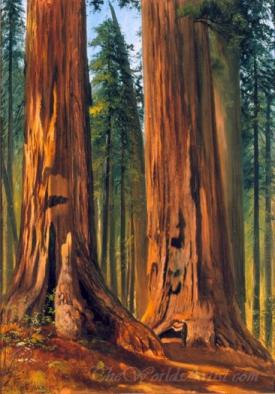Redwoods Giant Sequoias