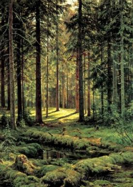 Coniferous Forest Sunny Day