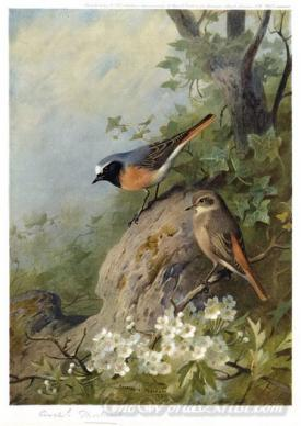 Cock And Hen Redstarts